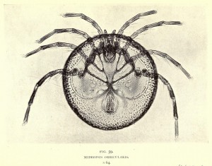 Mideopsis orbicularis